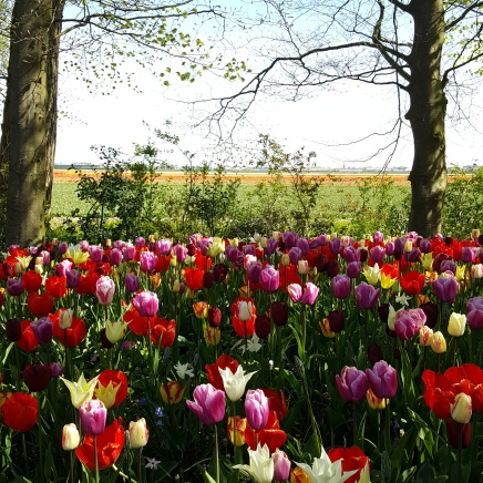 TULIPS IN FRONT OF TULIP FIELDS