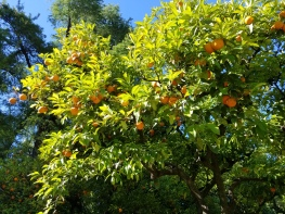 ORANGE TREES OF SEVILLA